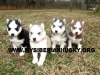 Siberian Husky, 5 weeks old, Black/white,red/white,silver/white